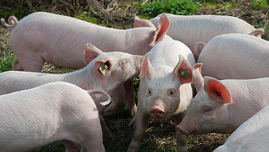 猪屠宰设备